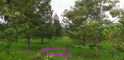 ไร่สวน 3800000 กาญจนบุรี ทองผาภูมิ ลิ่นถิ่น